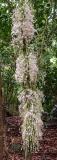 cauliflory trunks in full bloom