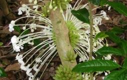 cauliflory trunks starting to bloom